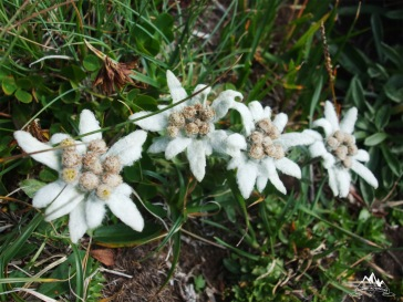 flori incolonate
