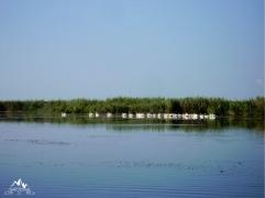 grupuri de pelicani